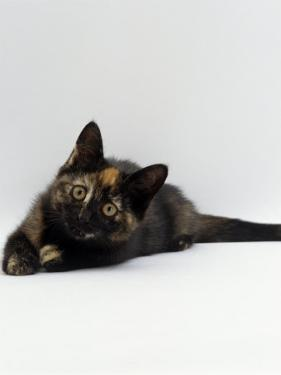 Domestic Cat, 8-Week Tortoiseshell Kitten Ready to Pounce by Jane Burton