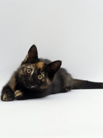 Domestic Cat, 8-Week Tortoiseshell Kitten Ready to Pounce