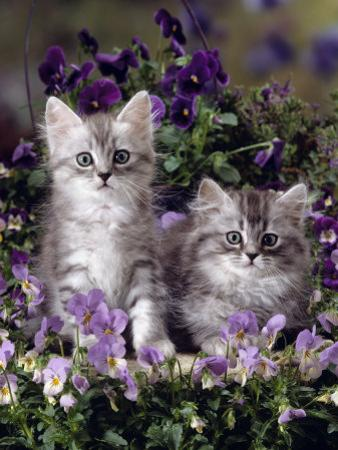 Domestic Cat, 8-Week, Two Fluffy Silver Tabby Kittens Amongst Winter-Flowering Pansies by Jane Burton