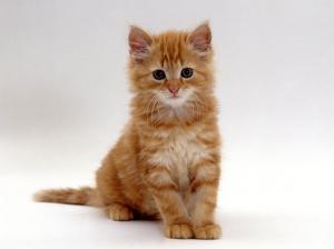Domestic Cat, 8-Weeks, Fluffy Ginger Male Kitten by Jane Burton