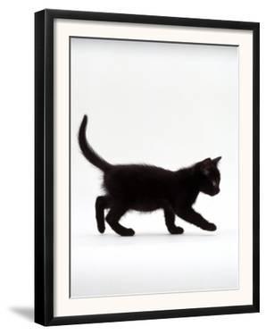 Domestic Cat, 9-Week Black Kitten Profile Walking by Jane Burton