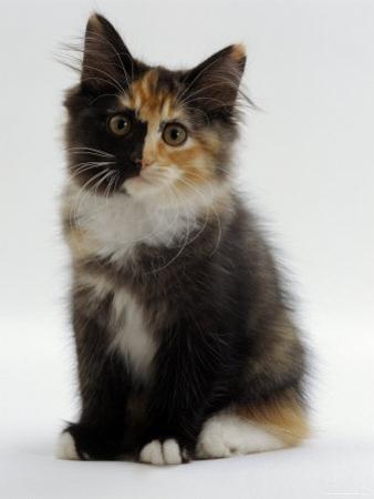 Domestic Cat, 9-Week Non-Pedigree Longhair Tortoiseshell-And-White Kitten