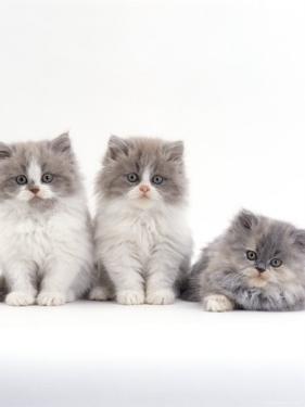 Domestic Cat, 9-Week, Persian-Cross, Lilac Bicolour and Blue Cream Kittens by Jane Burton