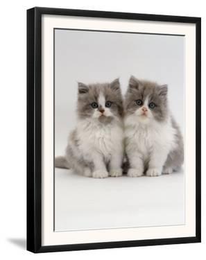 Domestic Cat, 9-Week, Two Persian Cross Lilac Bicolour Kittens by Jane Burton