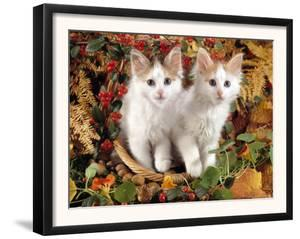 Domestic Cat, 9-Week, White-And-Tortoiseshell Sisters and in a Basket with Hazelnuts by Jane Burton