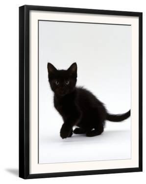 Domestic Cat, 9-Weeks, Black Shorthair Kitten by Jane Burton