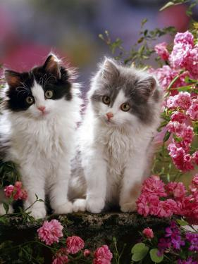 Domestic Cat, Black and Blue Bicolour Persian-Cross Kittens Among Pink Climbing Roses by Jane Burton