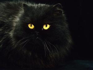 Domestic Cat, Black Persian Female at Night, Yellow Eyes Shining by Jane Burton