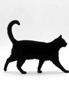 Domestic Cat, Black Short-Hair Male, Walking Profile by Jane Burton