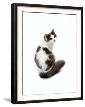 Domestic Cat, Blue and White Persian-Cross by Jane Burton