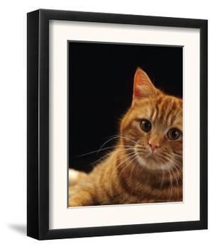 Domestic Cat, British Shorthair Red Female Portrait by Jane Burton
