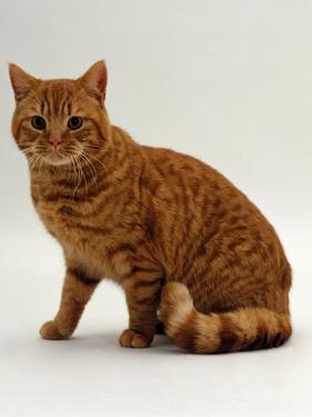 Domestic Cat, British Shorthair Red Male by Jane Burton