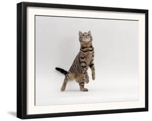 Domestic Cat, Brown Spotted Tabby Reaching Up by Jane Burton