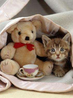 Domestic Cat, Brown Ticked Tabby Kitten, Under Blanket with Teddy Bear by Jane Burton