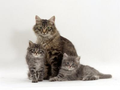 Domestic Cat, Fluffy Tabby with Her Two Kittens by Jane Burton