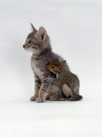 Domestic Cat, Interacting with Baby Grey Squirrel by Jane Burton