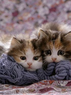 Domestic Cat Kittens, 8-Weeks, Tortoiseshell-And-White Sisters, (Persian-Cross') by Jane Burton