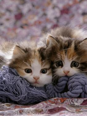 Domestic Cat Kittens, 8-Weeks, Tortoiseshell-And-White Sisters, (Persian-Cross') by Jane Burton
