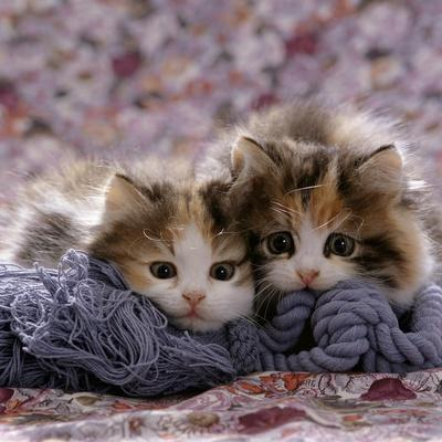 Domestic Cat Kittens, 8-Weeks, Tortoiseshell-And-White Sisters, (Persian-Cross')