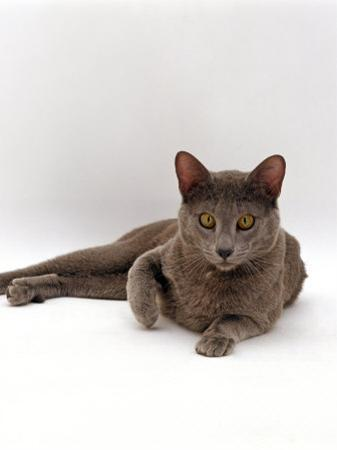 Domestic Cat, One-Year Blue Siamese Burmese Cross by Jane Burton