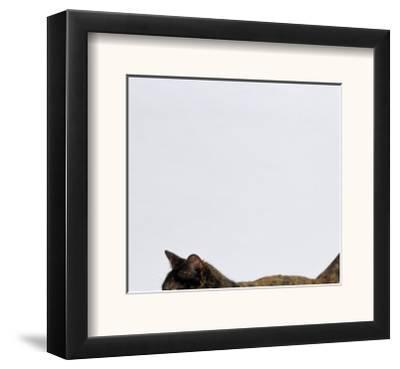 Domestic Cat, One-Year Dark Tortoiseshell Shorthair Cat