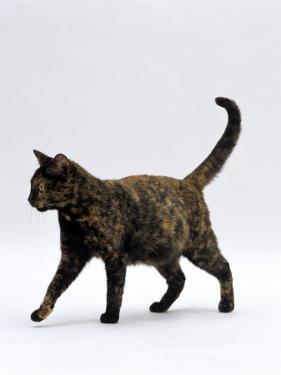 Domestic Cat, One-Year Dark Tortoiseshell Shorthair Cat by Jane Burton