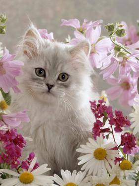Domestic Cat, Pale Silver Long-Haired Kitten Among Mallows and Ox-Eye Dasies by Jane Burton