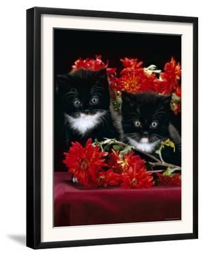 Domestic Cat, Persian-Cross Kittens with Chrysanthemums by Jane Burton