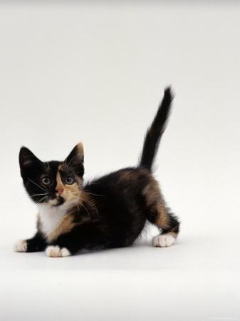 Domestic Cat, Playful Tortoiseshell Kitten