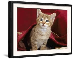 Domestic Cat, Portrait of Oriental Brown Spotted Tabby Kitten Under Red Velours Curtain by Jane Burton
