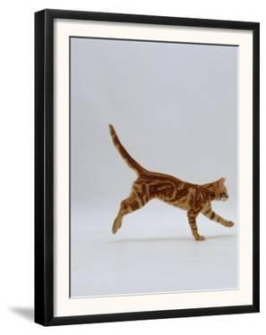 Domestic Cat, Red Tabby Kitten Running Profile by Jane Burton