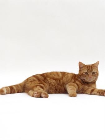 Domestic Cat, Red Tabby Male Lying Down by Jane Burton