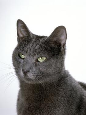 Domestic Cat, Russian Blue Female by Jane Burton