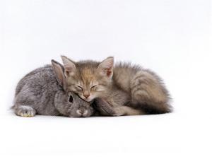 Domestic Cat, Silver Tortoiseshell Kitten with Silver Dwarf Lop Eared Rabbit by Jane Burton