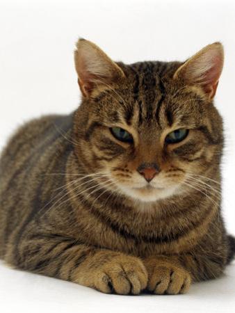 Domestic Cat, Striped Tabby Male by Jane Burton