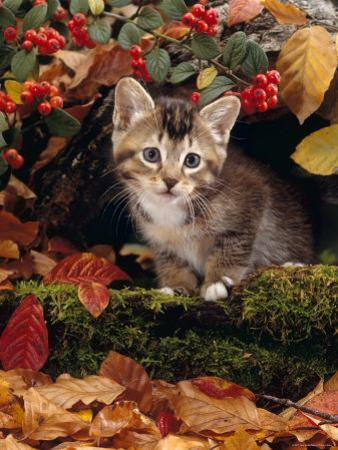 Domestic Cat, Tabby Kitten Among Autumn Leaves and Cottoneaster Berries