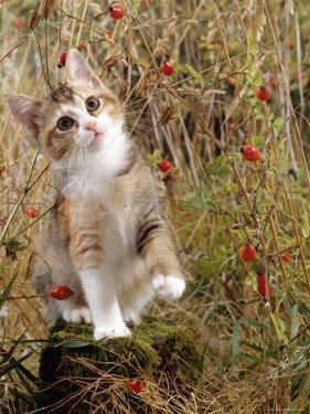 Domestic Cat, Tabby-Tortoiseshell Kitten Among Cocksfoot Grass, Horsetails and Rose Hips by Jane Burton