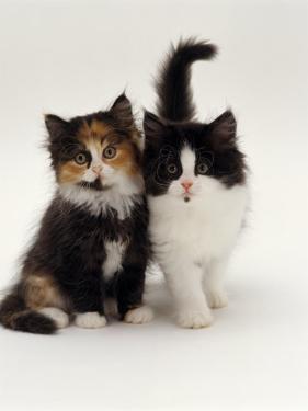 Domestic Cat, Tortoiseshell and Black-And-White Kittens by Jane Burton