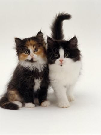 Domestic Cat, Tortoiseshell and Black-And-White Kittens