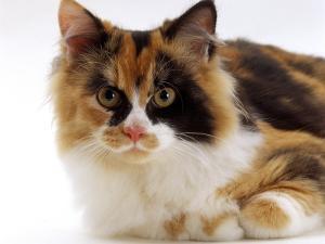 Domestic Cat, Tortoiseshell and White by Jane Burton