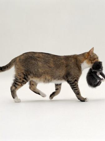 Domestic Cat, Tortoiseshell Mother Carrying / Moving Kitten