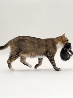 Domestic Cat, Tortoiseshell Mother Carrying / Moving Kitten by Jane Burton