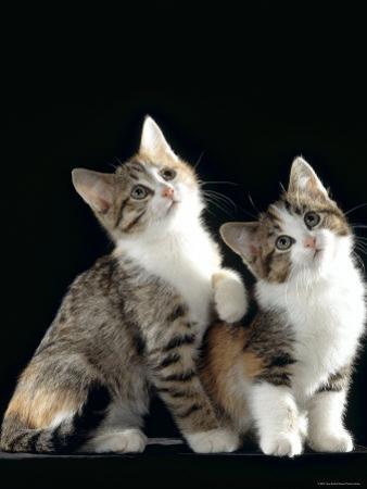 Domestic Cat, Two 8-Week Tabby Tortoiseshell and White Kittens by Jane Burton