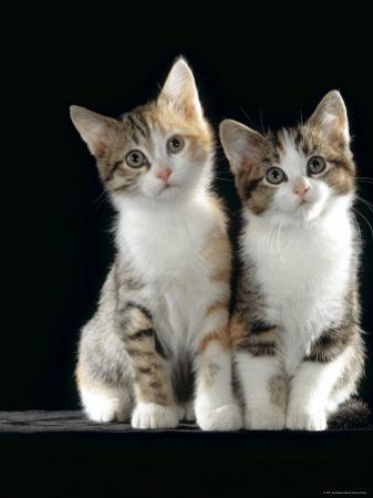 Domestic Cat, Two 8-Week Tabby Tortoiseshell and White Kittens