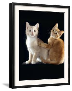 Domestic Cat, Two 9-Week Kittens, One Cream One Ginger by Jane Burton