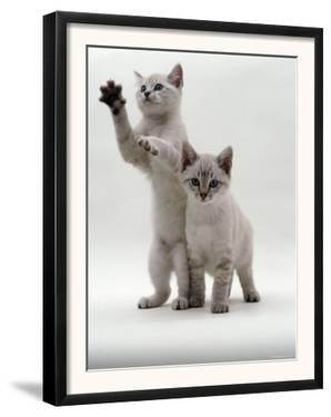 Domestic Cat, Two Blue-Eyed Sepia Snow Bengal Kittens, One Reaching Up by Jane Burton
