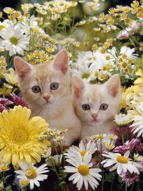 Domestic Cat, Two Cream Kittens Among Dasies and Feverfew by Jane Burton