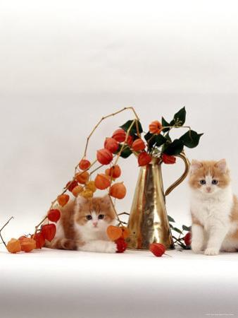 Domestic Cat, Two Fluffy Ginger-And-White Kittens with Chinese Lanterns in Brass Jug by Jane Burton