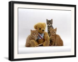 Domestic Cat, Two Ginger Kittens and a Tabby with Ginger Teddy Bear by Jane Burton