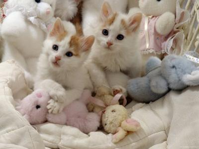 Domestic Cat, Two Turkish Van Kittens with Soft Toys in Crib by Jane Burton